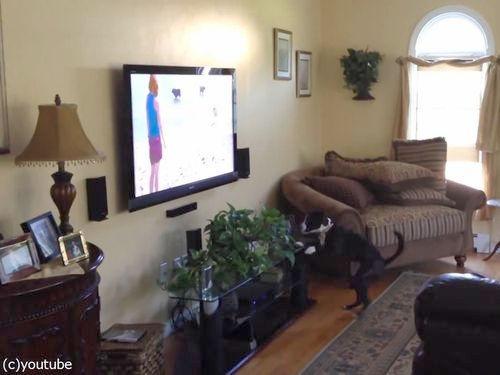 テレビを見て興奮する犬01