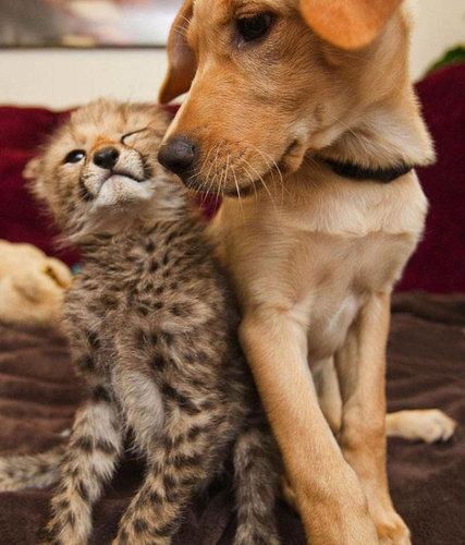 チーターと犬の友情03