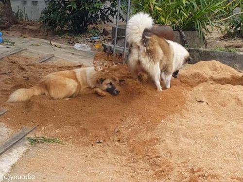 土をかぶり続ける犬01