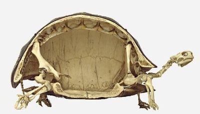 亀の骨格01