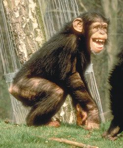 チンパンジー03