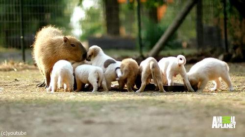 やさしいカピバラ、子犬たちのお母さんに02