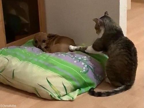 犬と仲良しになりたい猫02