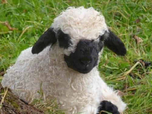 世界一かわいい羊09