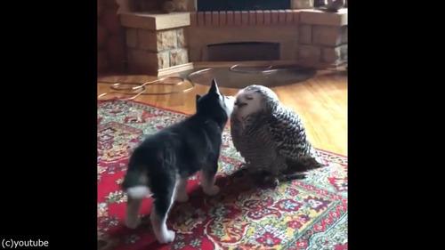 子犬とフクロウの愛情02