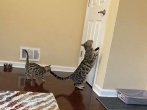 おとなの猫が子猫にドアの開け方を教える