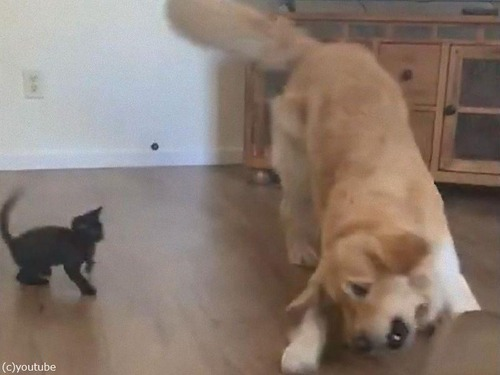 猫に負けてあげるレトリバー02