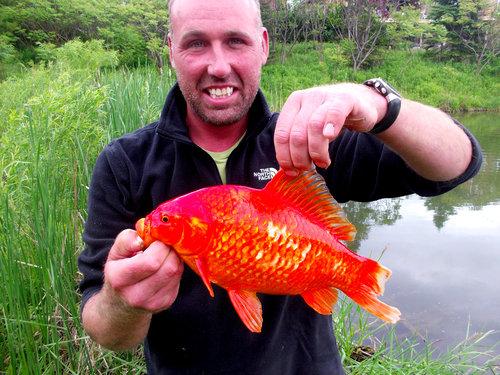 金魚が飼えなくなって人々が湖に放したその結果08