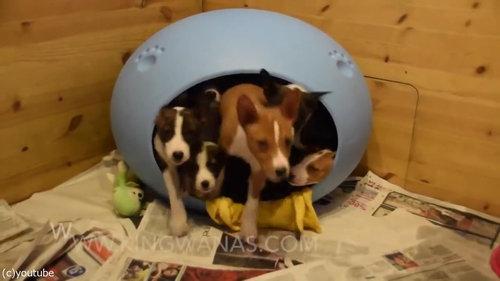 小さなベッドの中に子犬が16匹03