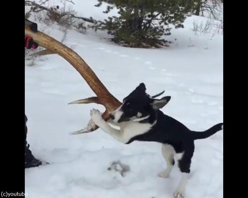 愛犬が雪の中で何か見つけたようだ…すごい執着心04