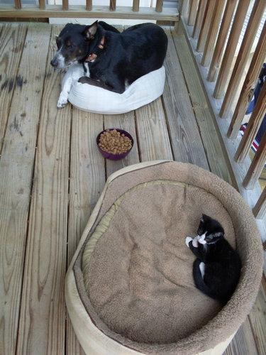 猫にベッドを奪われる犬たち07