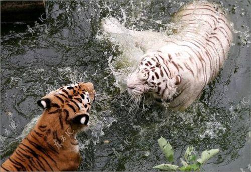 虎vsホワイトタイガー05
