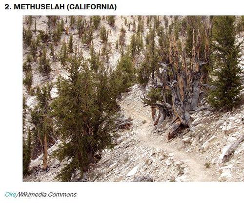 樹齢2000年のオリーブの木04