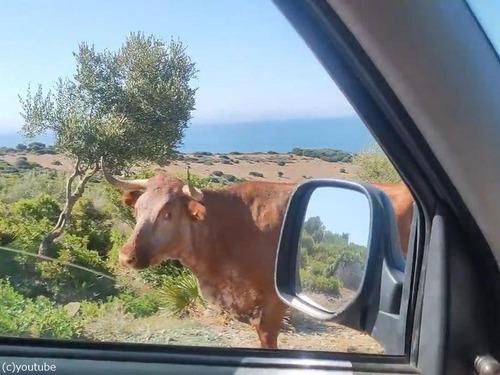 スペインの牛は…道を教えてくれる