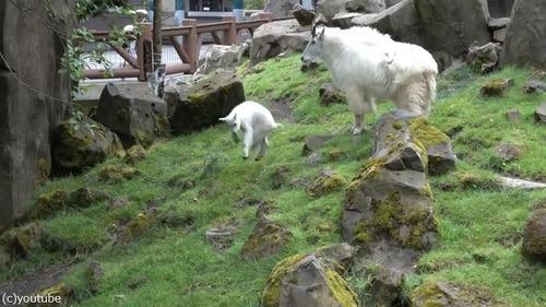 崖登りの練習をするヤギの子ども04