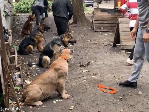 犬の訓練にピューマ02