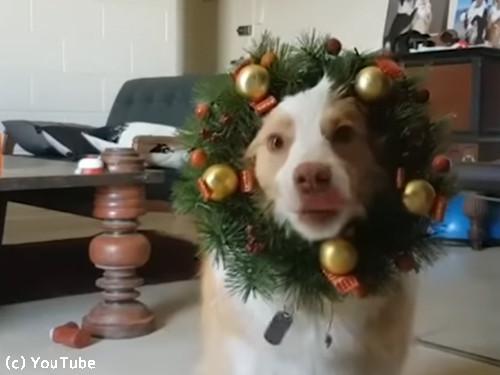 クリスマスが待ちきれない犬04