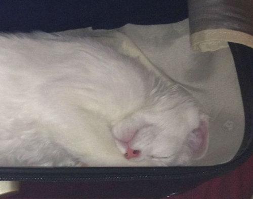 スーツケース猫02