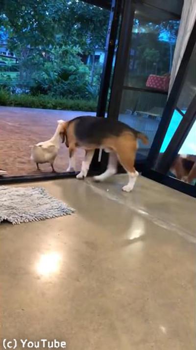 超仲良しな犬とアヒル…見てるこっちが照れる02