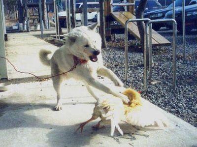犬がニワトリと本気で戦う03