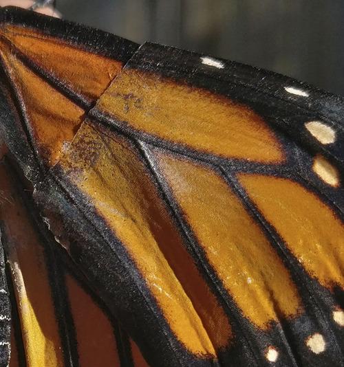 蝶の羽を移植05