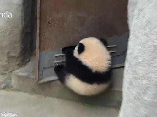 ドアストッパーな赤ちゃんパンダ02