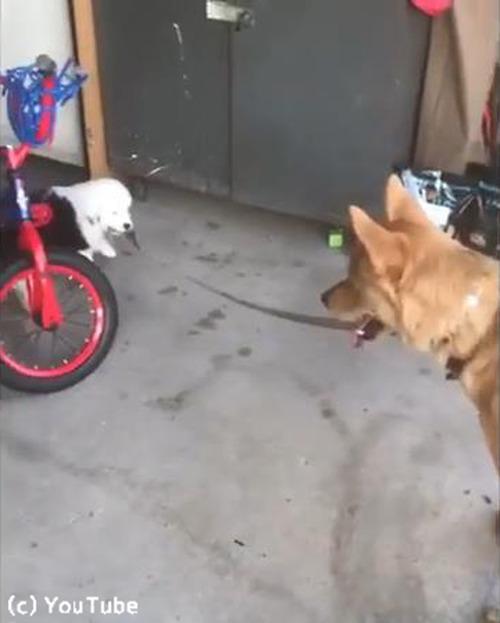子犬の散歩に付き合う犬03