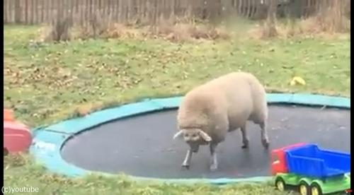 トランポリンで遊ぶ羊01