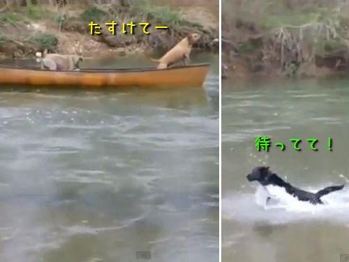 ボートで流される犬を助けるラブラドール