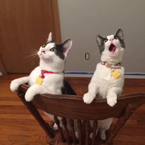 シーリングファンをつけたときの猫のリアクション01
