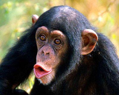 毛が無いチンパンジーTOP