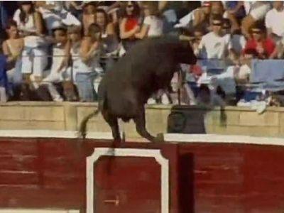 観客席に闘牛が乱入