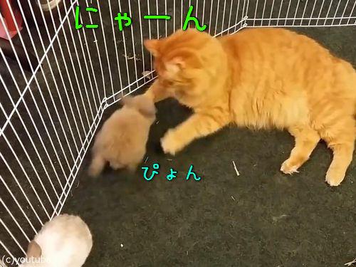 猫がウサギをわが子のようにかわいがる00