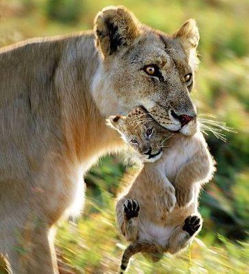 ライオン01