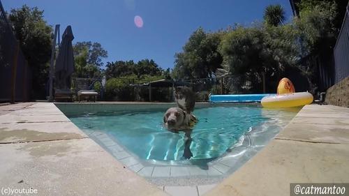 犬の背中に乗ってプール遊びをする猫06