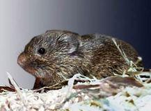 1.プレーリーハタネズミ(Prairie Vole)