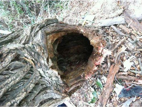 木に飲み込まれた男性02