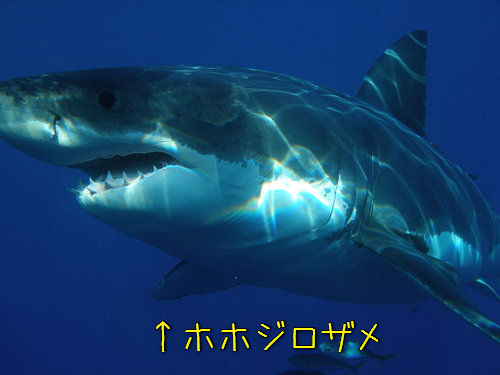ホホジロザメの画像 p1_11