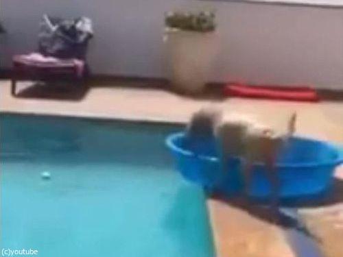 プールからボールを拾い上げる犬02