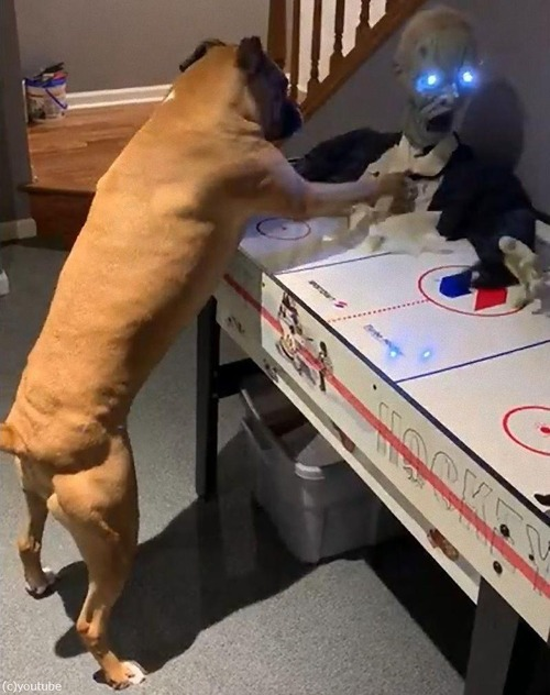 ボクサー犬がソンビをボコボコにする02