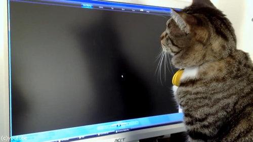 PC画面を見つめる猫03
