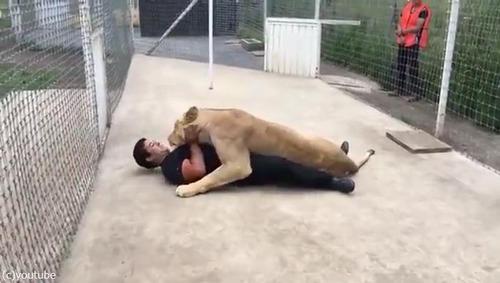 飼育員さんに再会したライオンの反応03
