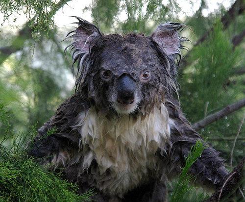 コアラが獰猛なとき02