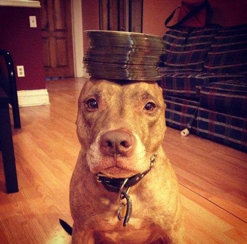 頭に載せる犬05