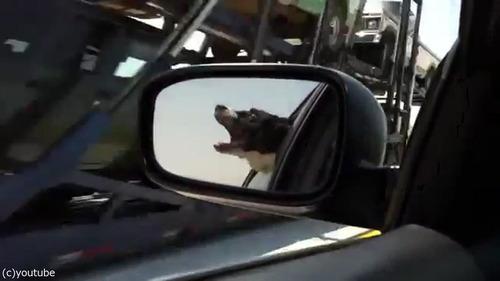 通り過ぎる車に噛みつこうとする犬02