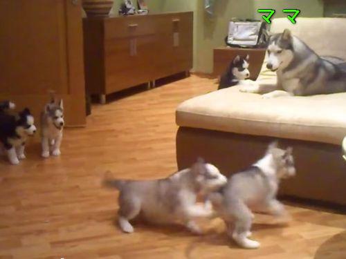 ママハスキーと子犬ハスキー00