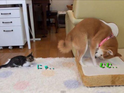 遊びたくて探り合う柴犬と子猫00