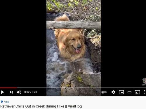 川で涼む犬