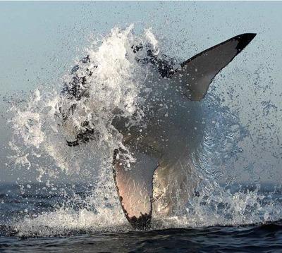 飛び跳ねるサメ01