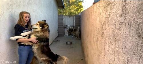 オオカミ犬、大きいけどめちゃくちゃ甘えん坊01